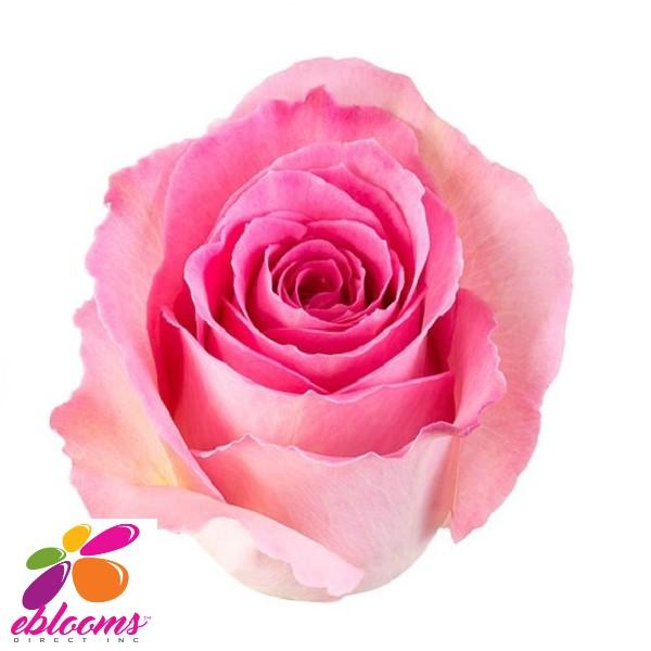 Sweet Unique Rose variety - EbloomsDirect