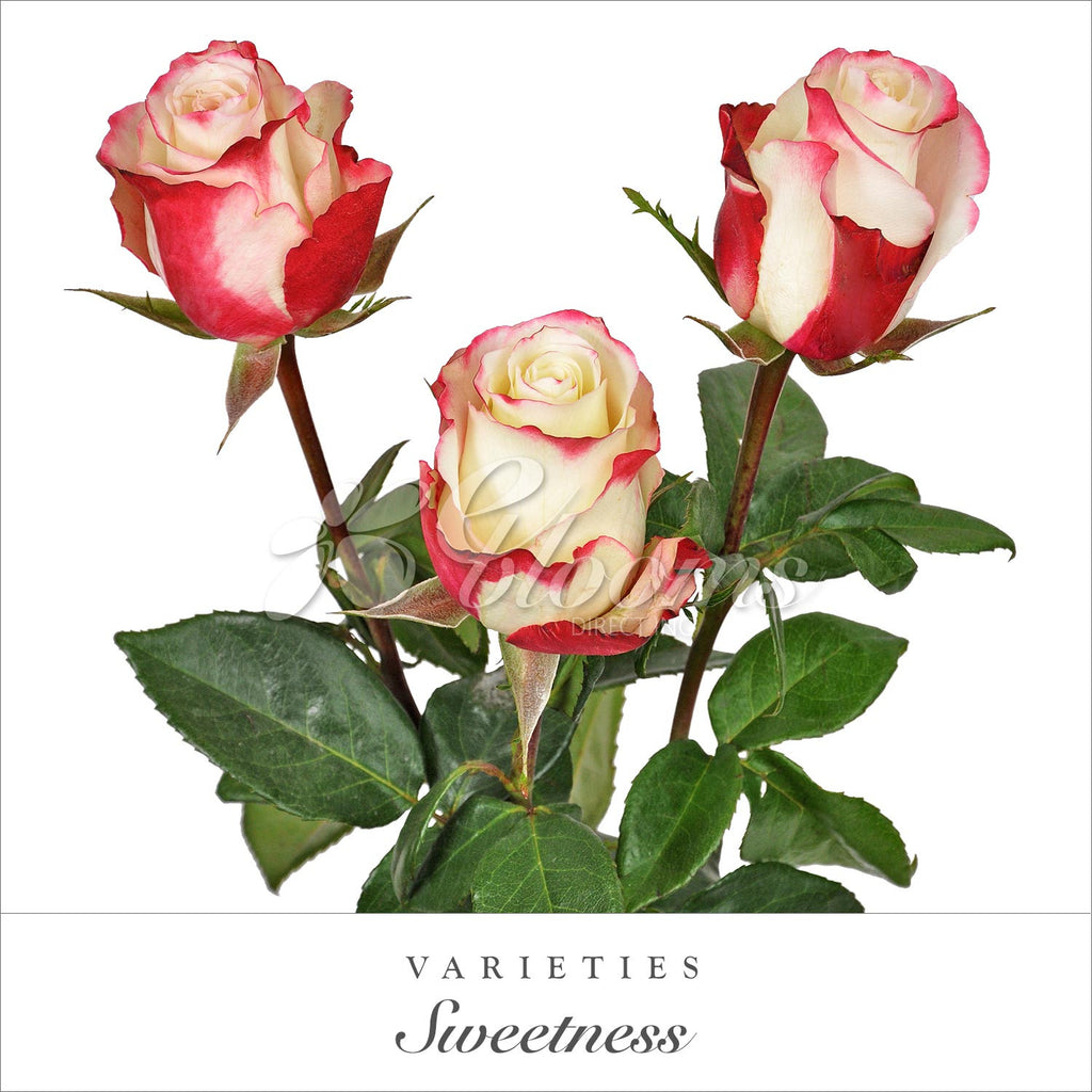 Rose Sweetness Bicolor White and Red  - EbloomsDirect