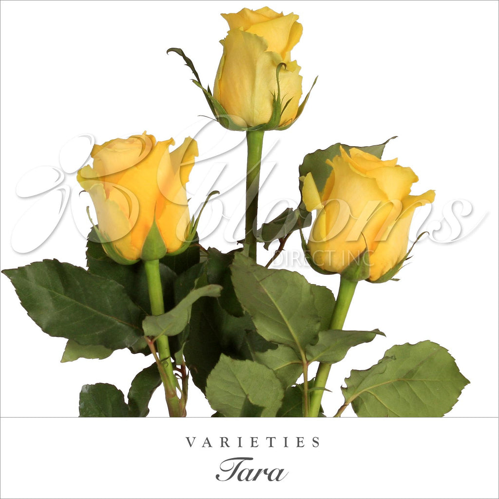 Rose Tara Yellow - EbloomsDirect