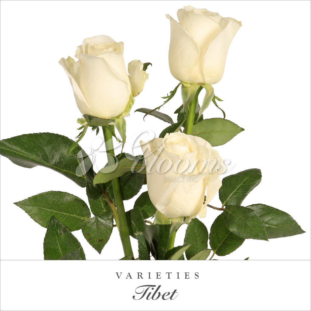 Rose Tibet White - EbloomsDirect
