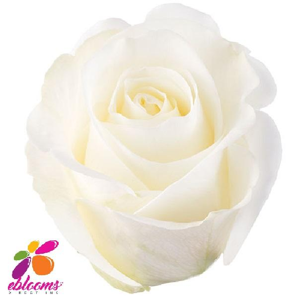 Tibet Rose Variety - EbloomsDirect