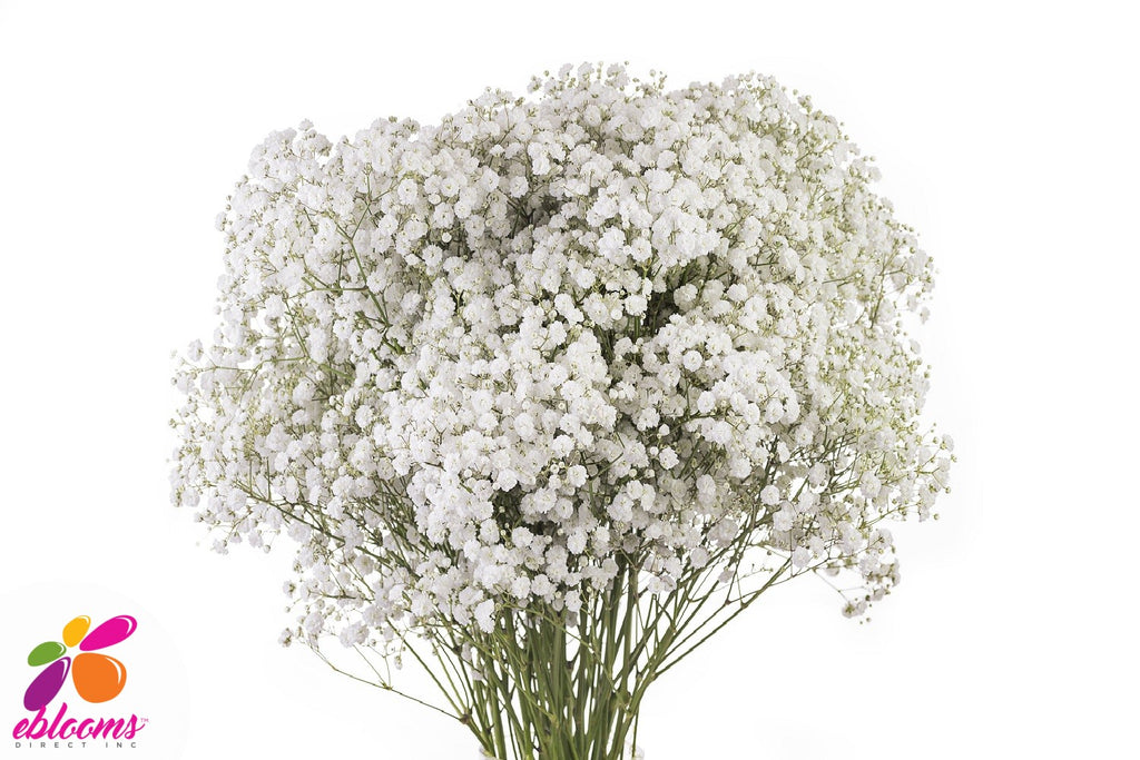 White Force baby's Breath