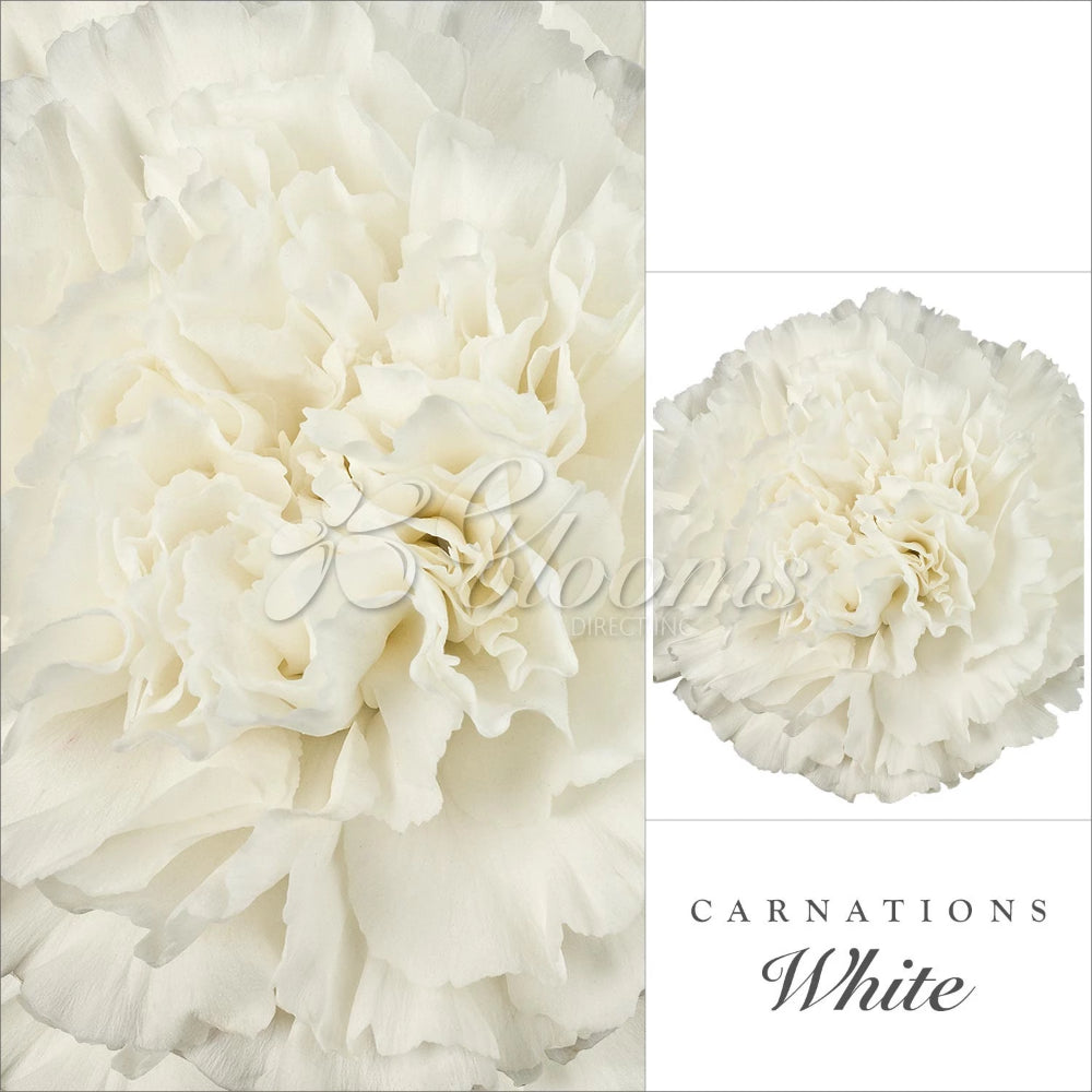 White Carnations Ebloomsdirect