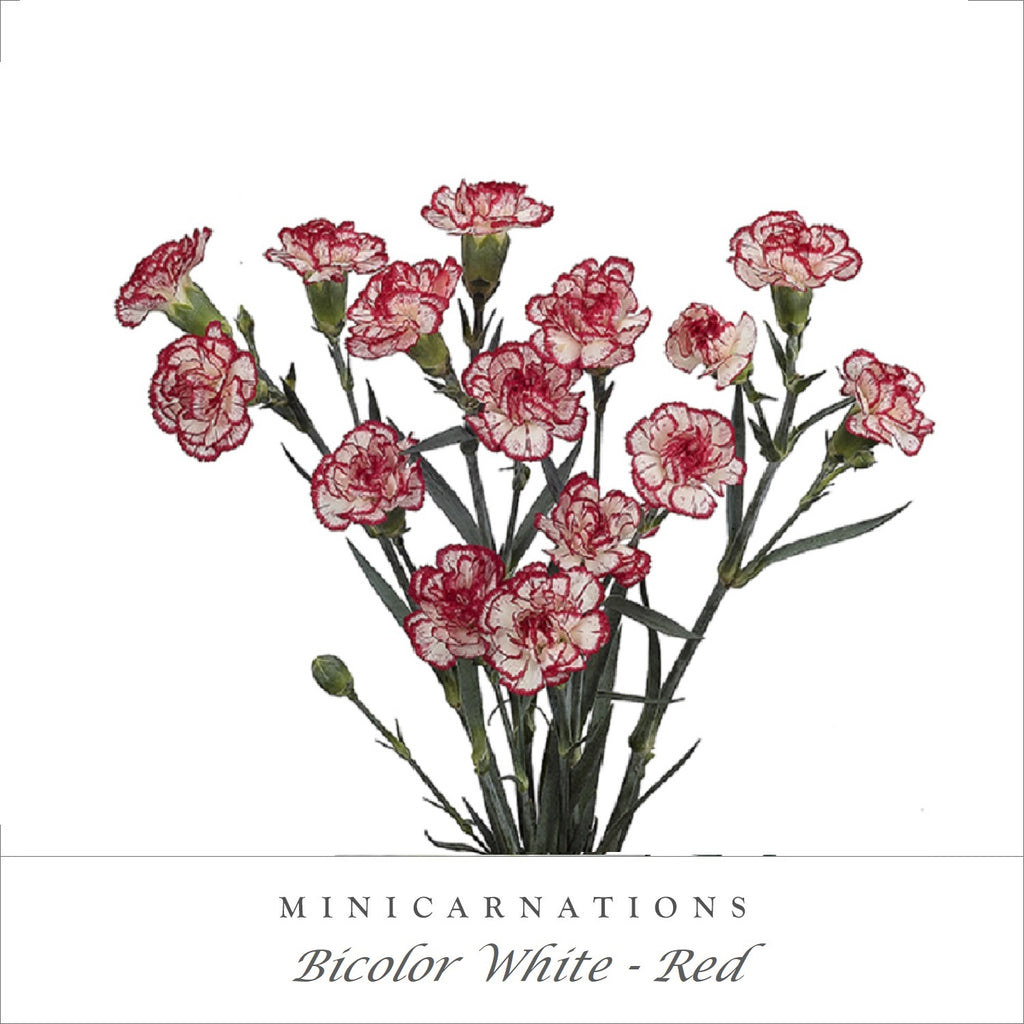 Mini Carnations Bicolor White Red - EbloomsDirect