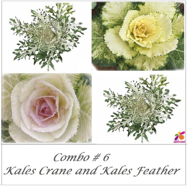 Bulk Flower Combo Box 6- Kales and Feather Kales - EbloomsDirect