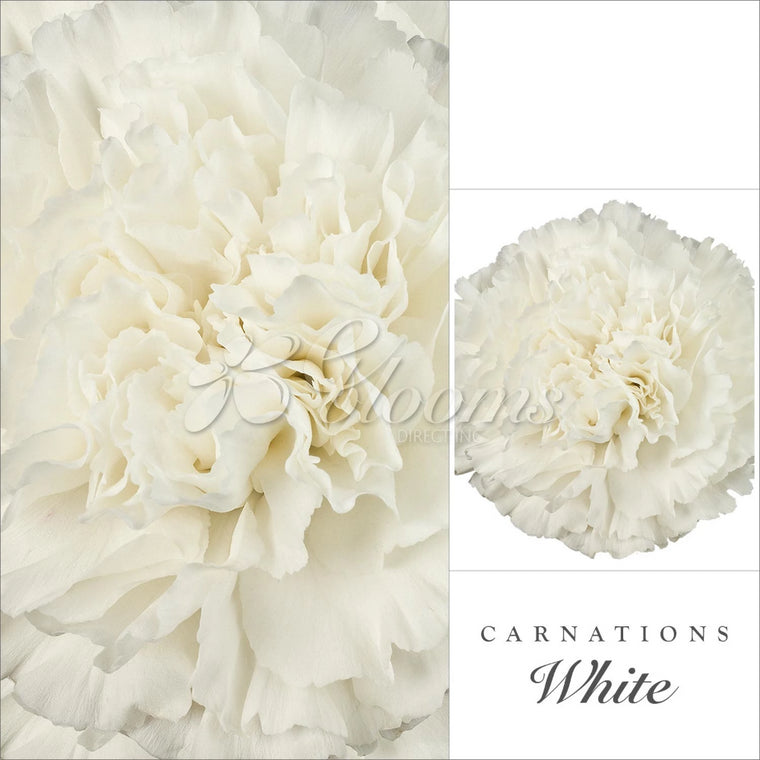 Carnations White - EbloomsDirect