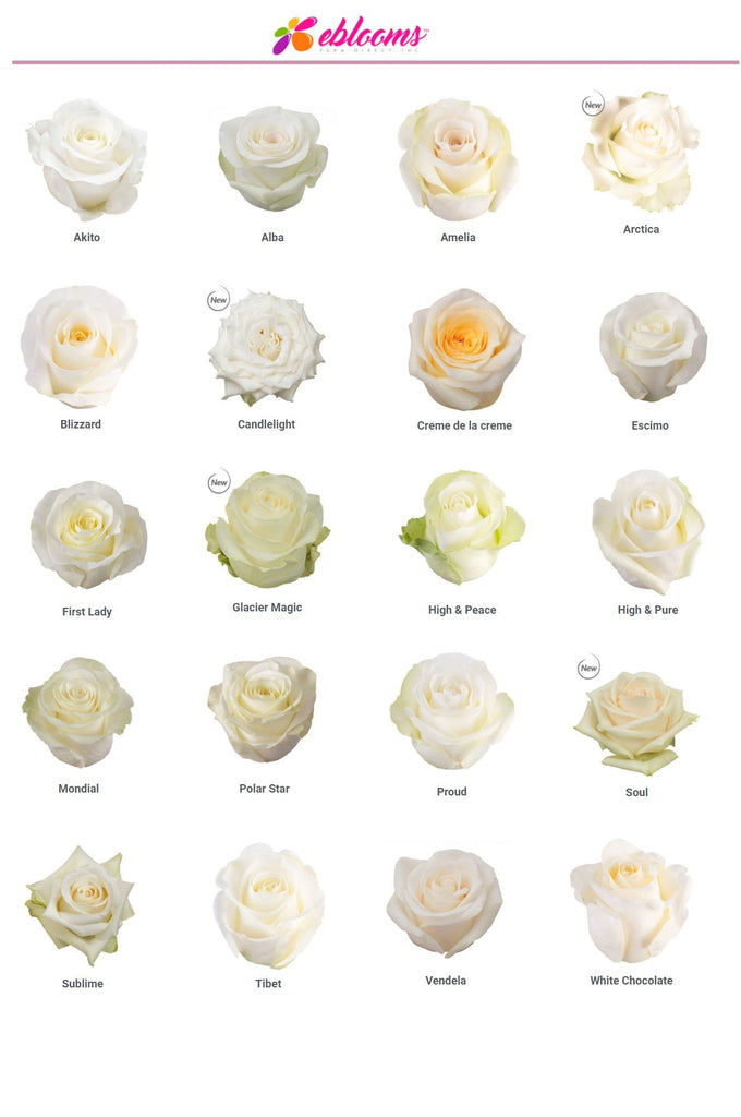 white cream rose varieties