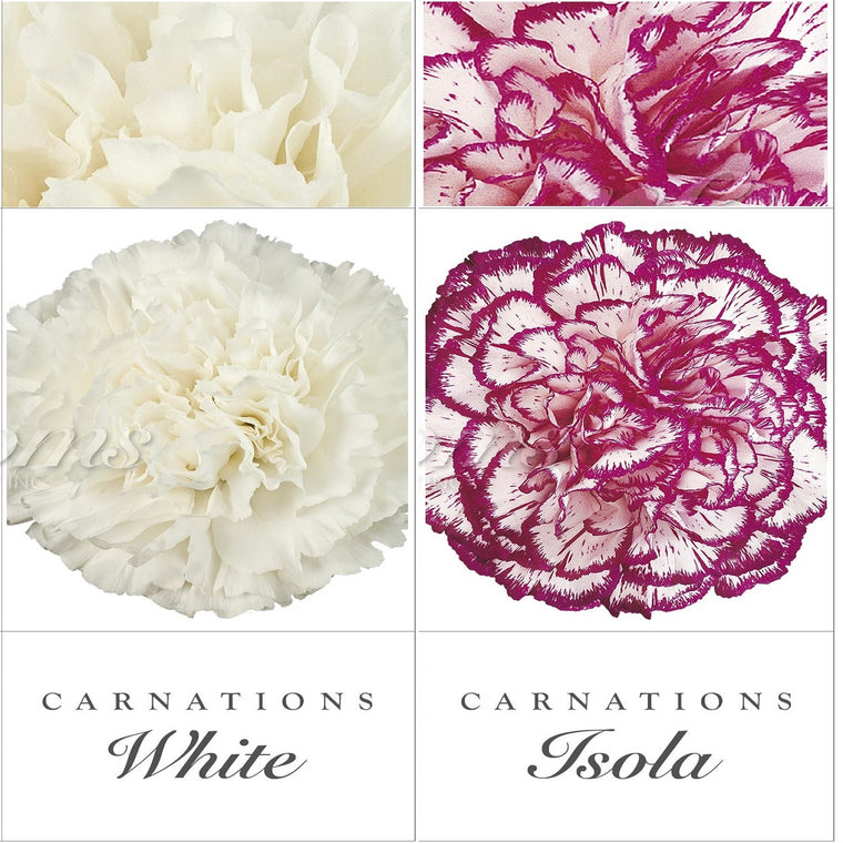 Carnations White and Bicolor Purple - EbloomsDirect