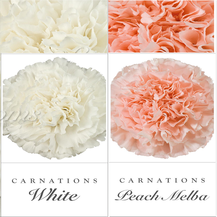 Carnations White and Peach - EbloomsDirect