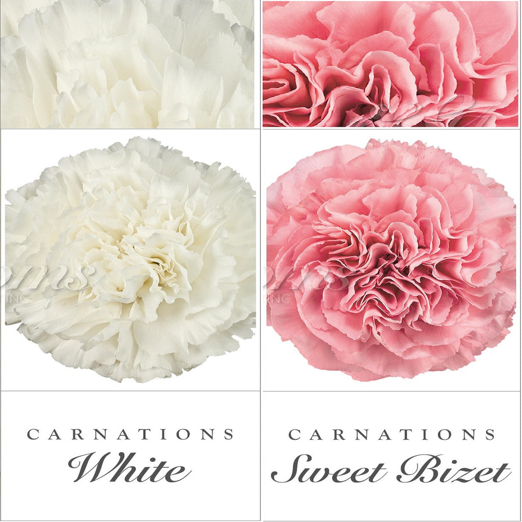 Carnations White and Pink - EbloomsDirect