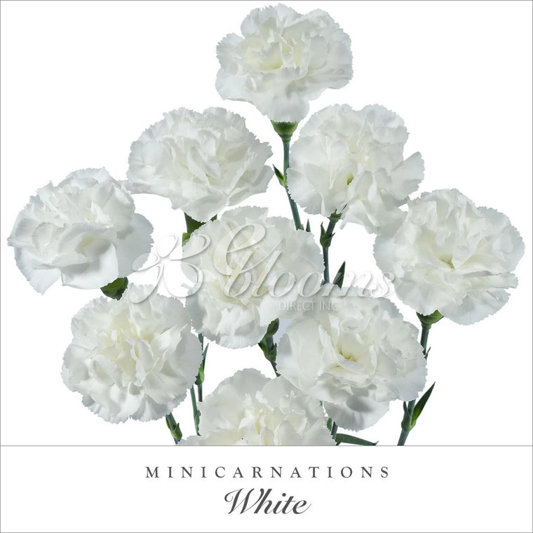 Mini Carnations White - EbloomsDirect