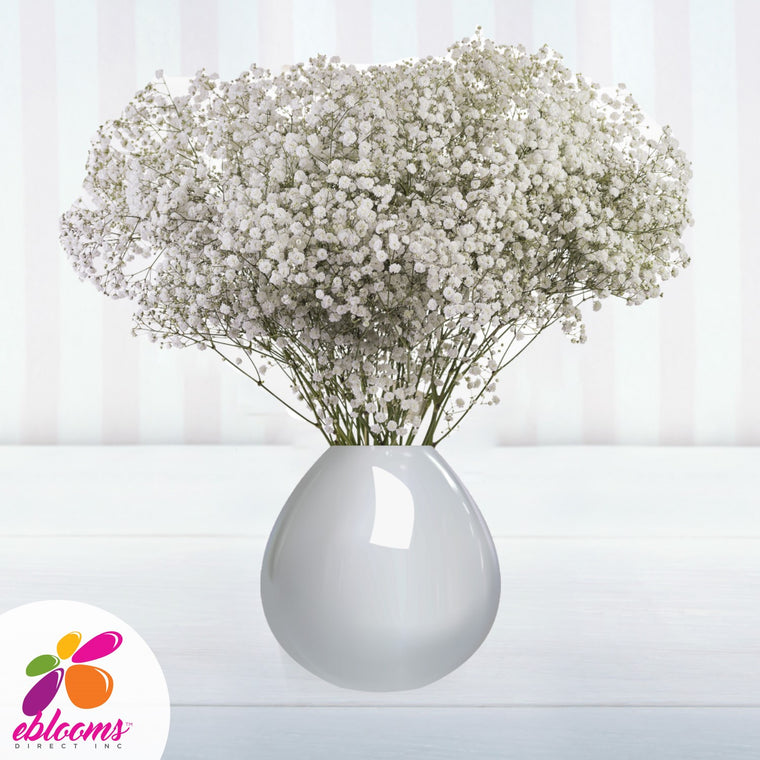 Baby's Breath Xlence Natural White