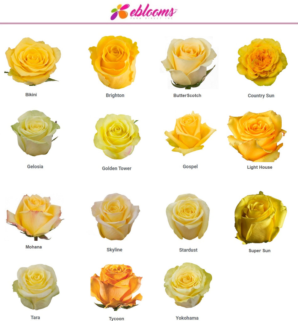 Yellow Rose Varieties by EbloomsDirect
