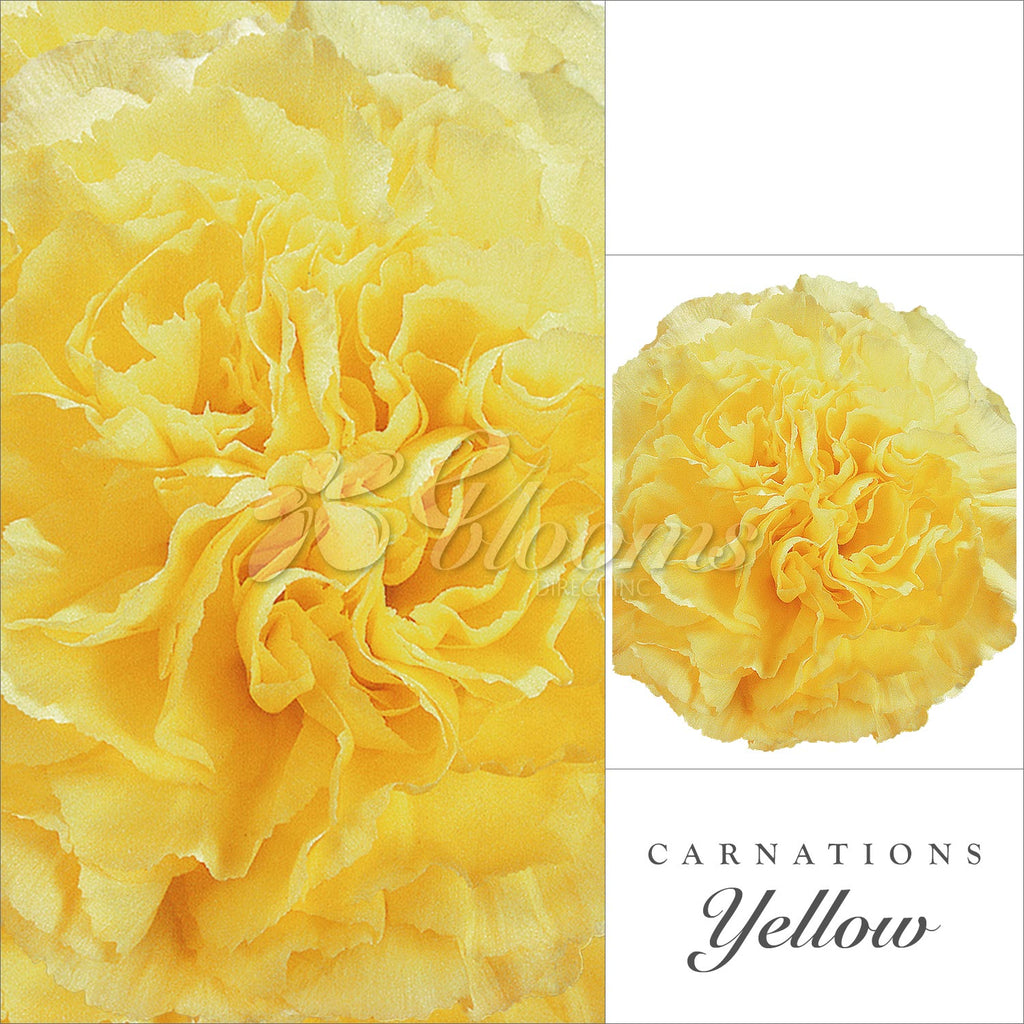 Carnation Yellow- EbloomsDirect