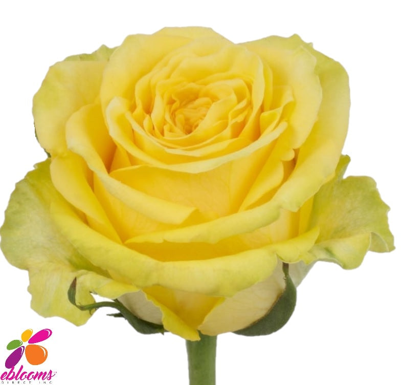 Yokohama Rose Variety -EbloomsDirect