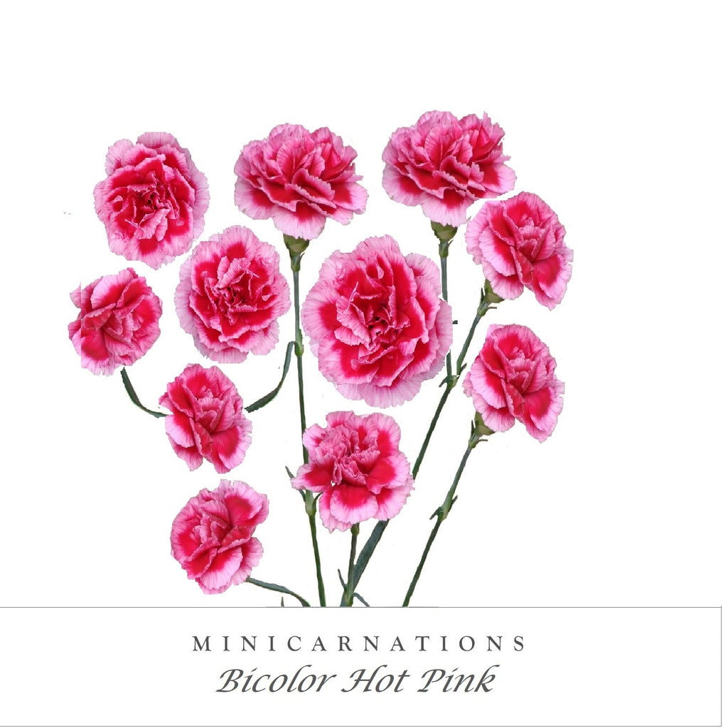 Mini Carnations Bicolor Hot Pink - EbloomsDirect