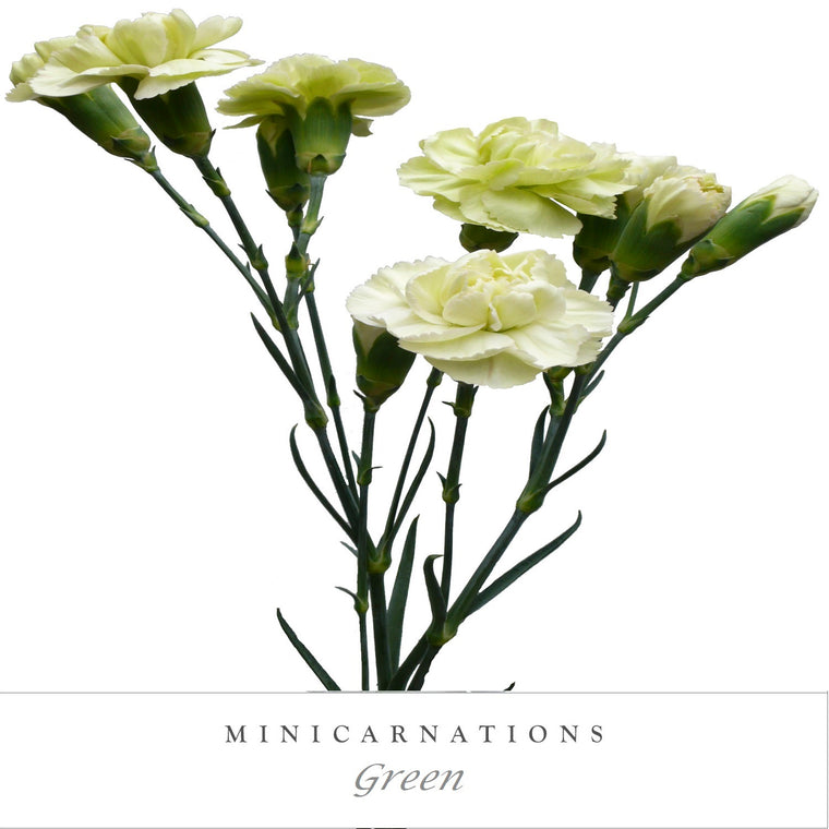 Mini Carnations Green - EbloomsDirect