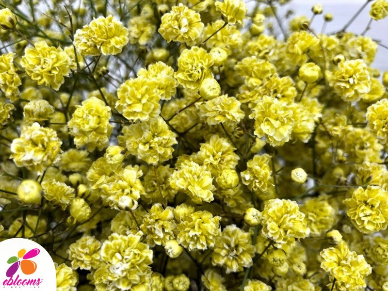 Baby's Breath Yellow Tinted