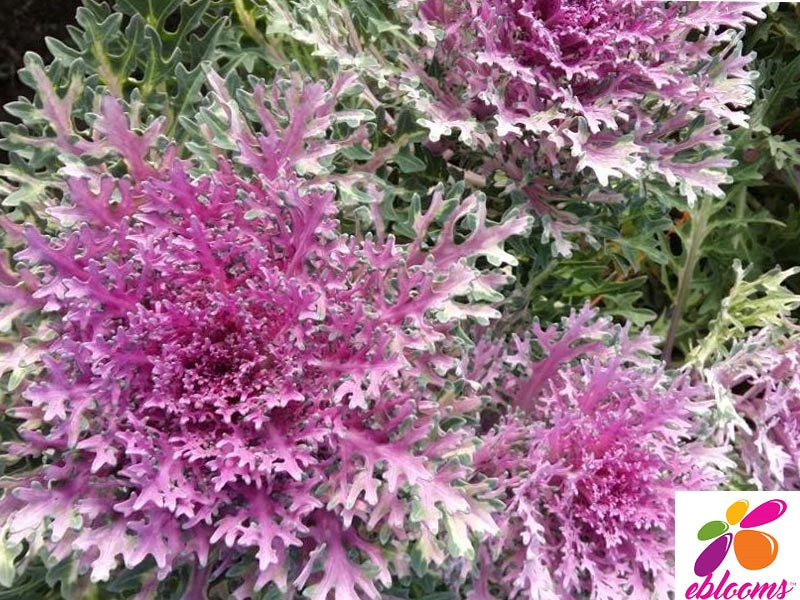 Kale Crane Feather Purple - 50 Stems - EbloomsDirect