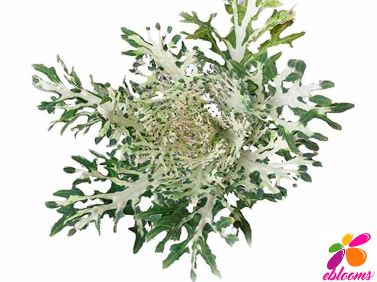 Kale Crane Feather White - 50 Stems - EbloomsDirect