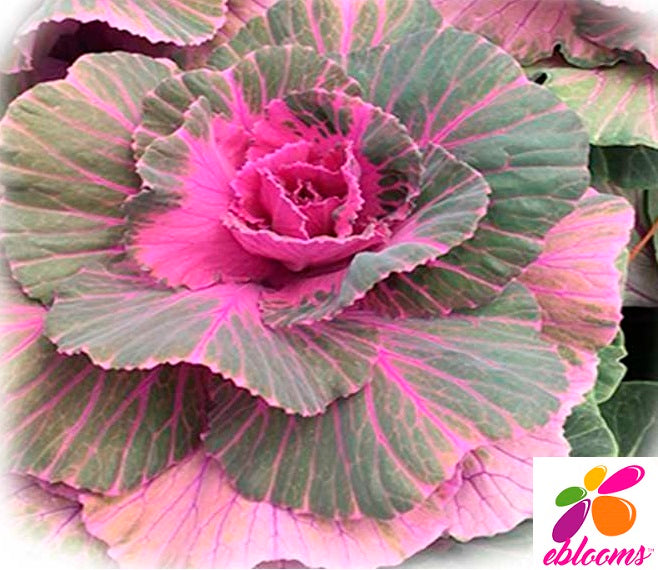 Kale Crane Hot Pink - 50 Stems - EbloomsDirect