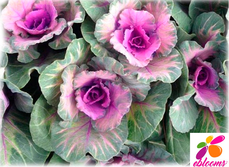 Kale Crane Purple - 50 Stems - EbloomsDirect
