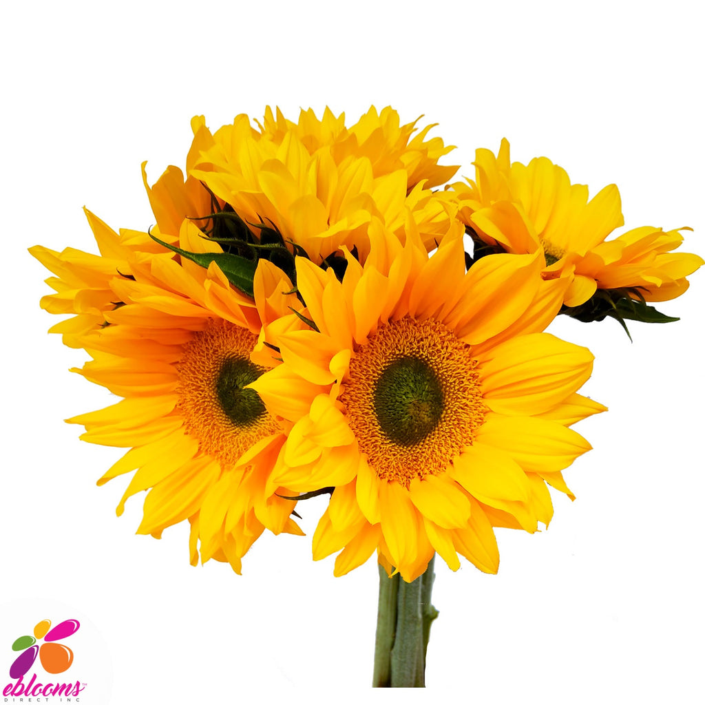Sunflower Select Green center - EbloomsDirect