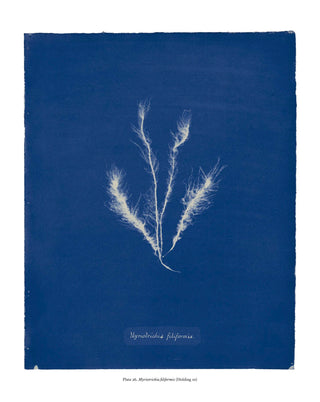 Sun Gardens: Cyanotypes by Anna Atkins}