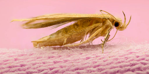 Identifying Clothes & Carpet Moths