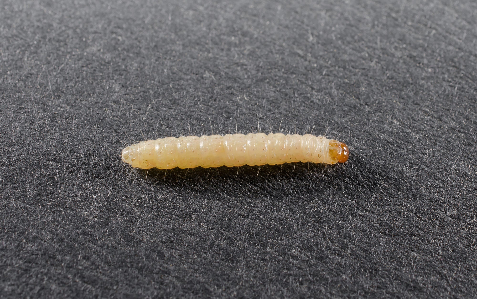 wool moth larvae