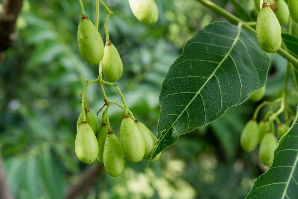 fruit and leaves of the Indian Lilac plant also known as a Neem Tree