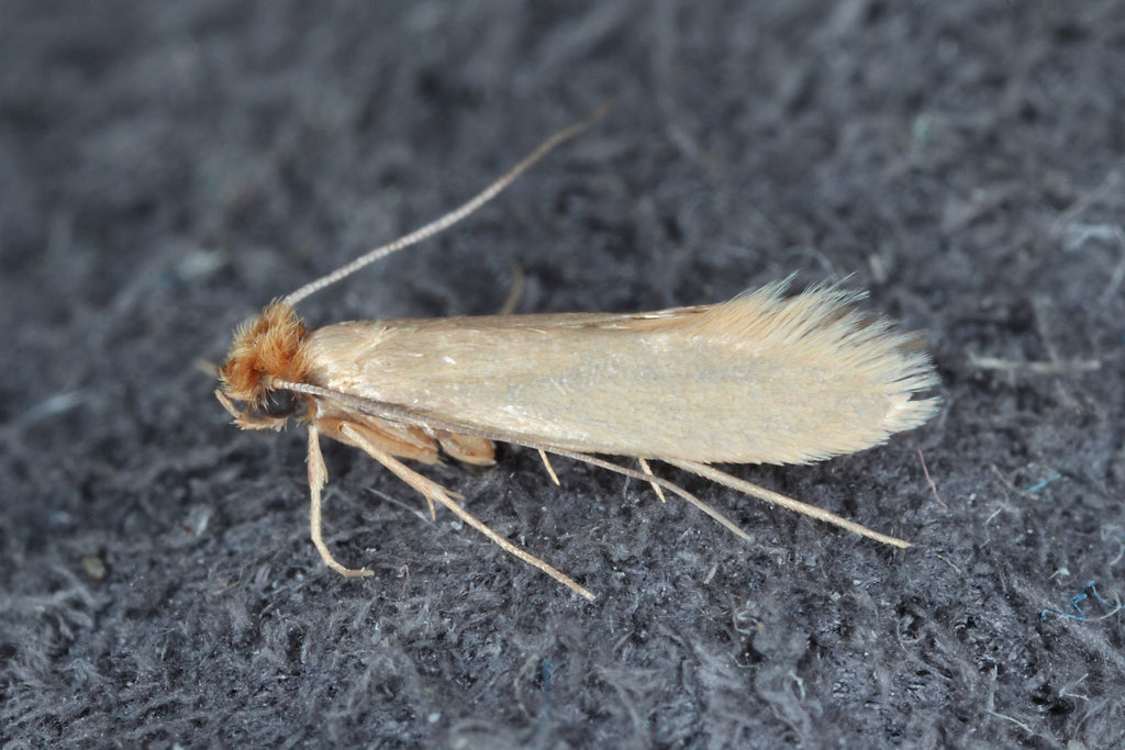 Clothes Moth also known as webbing moth or Tineola bisselliella