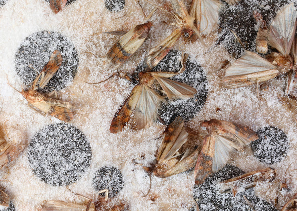 Indian Meal Moths stuck on a glue board