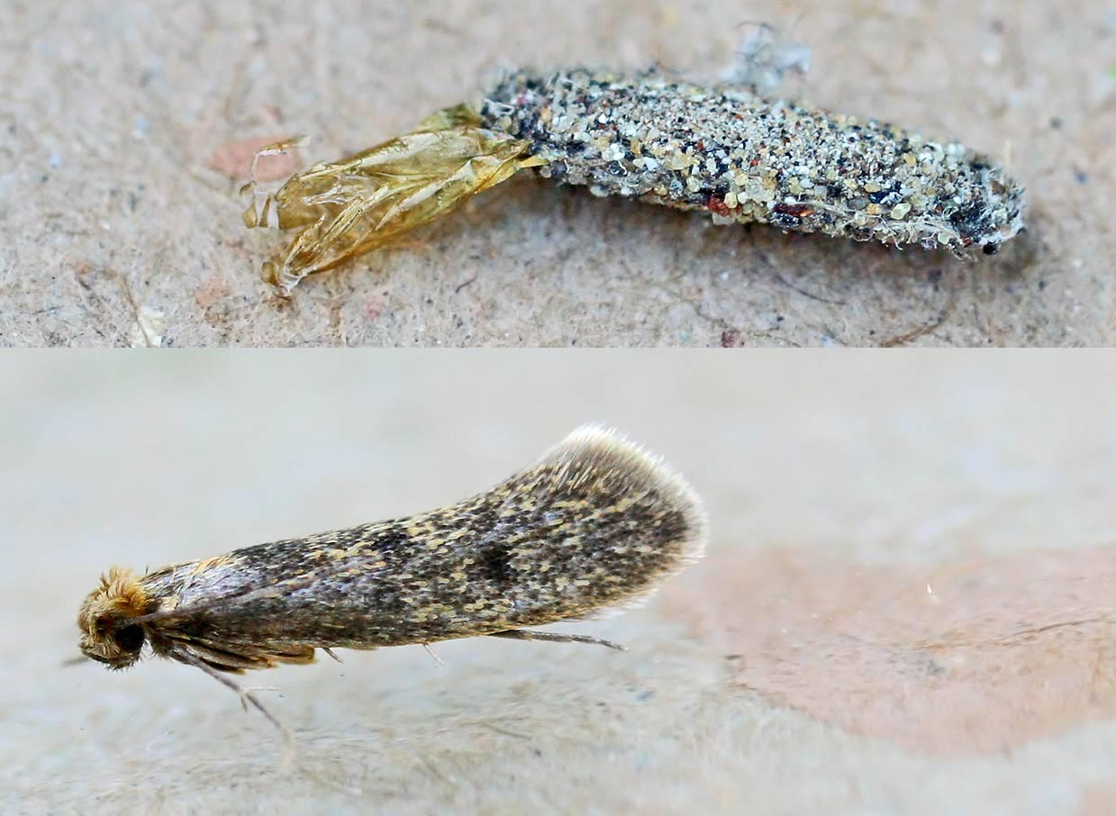 The pupa and the adult Case-Bearing Moth Tinea Pellionella