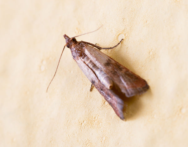 The adult Pantry Moth or Indian Meal Moth