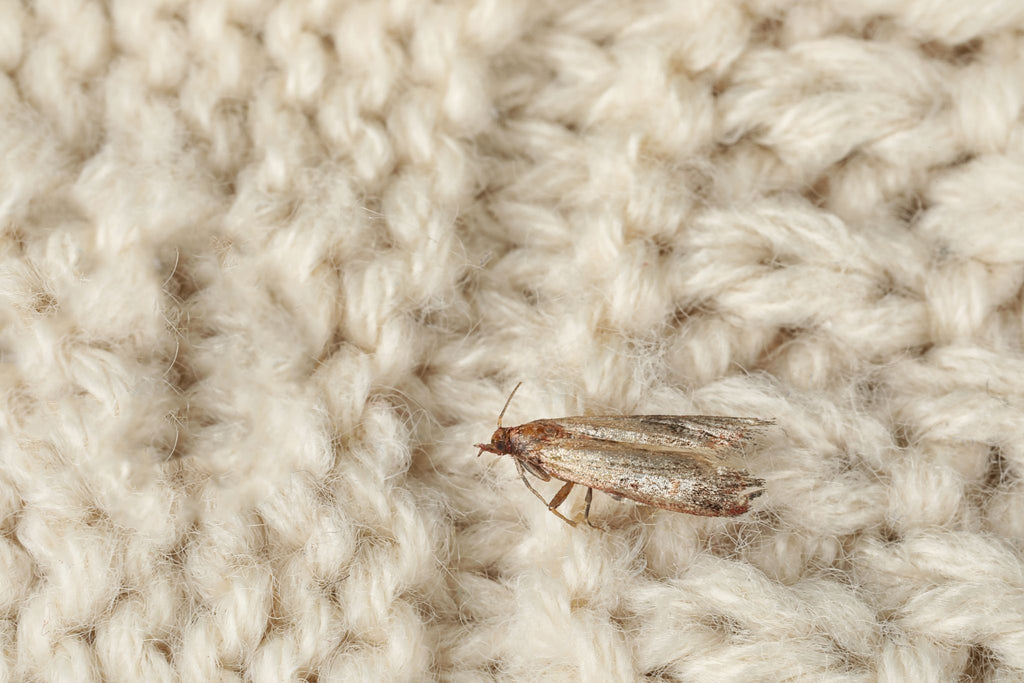 clothes moth on knitted woolen garment