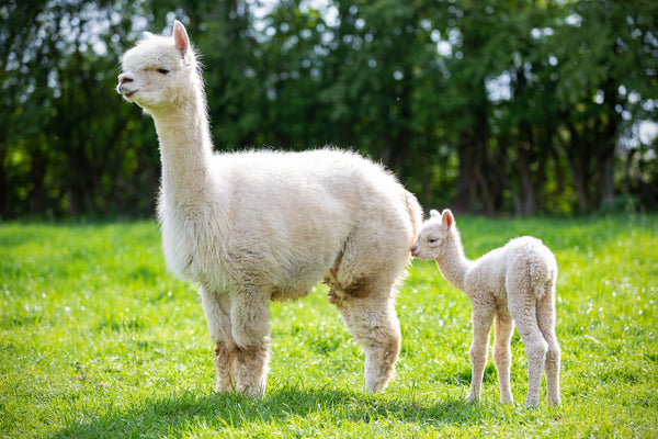 An alpaca with its young