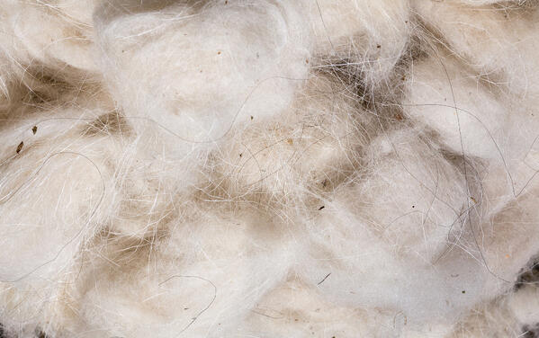 cashmere wool harvested