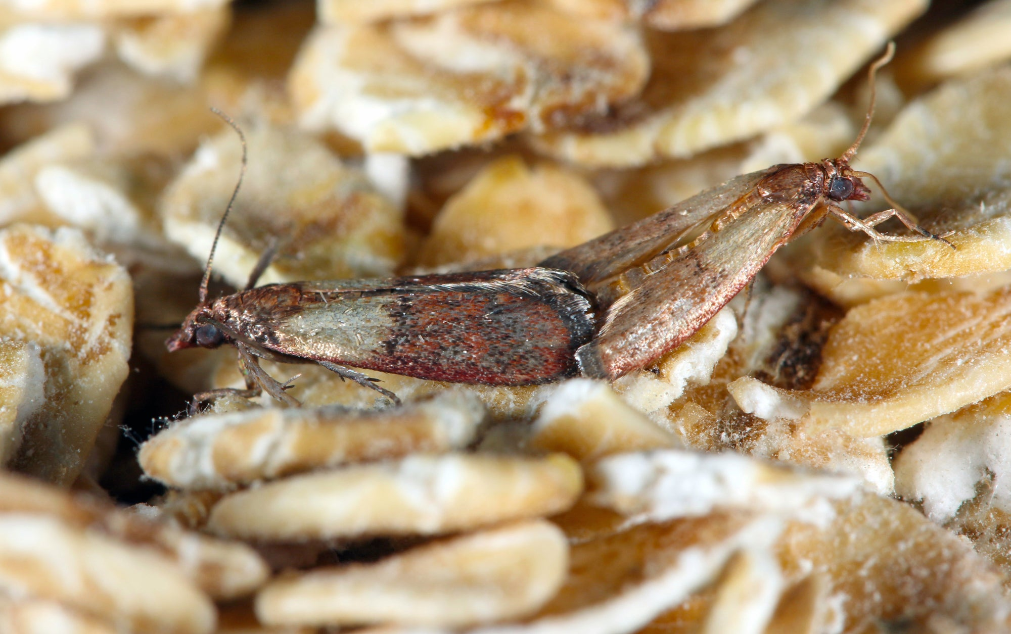pantry moth infestation indian meal moth