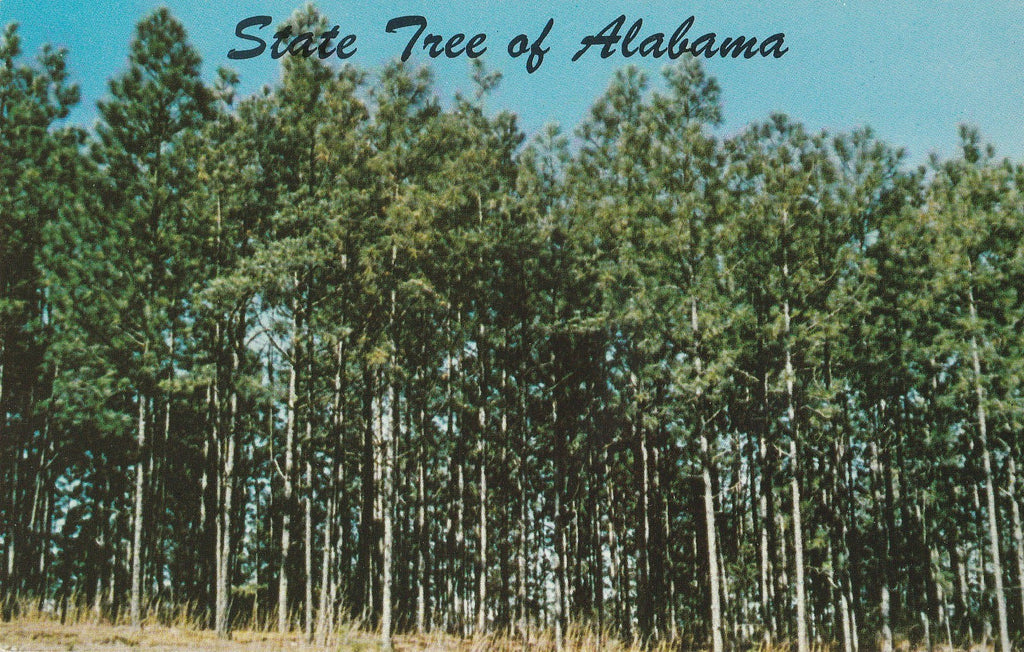 USA - Alabama - State Tree Southern Pine Postcard