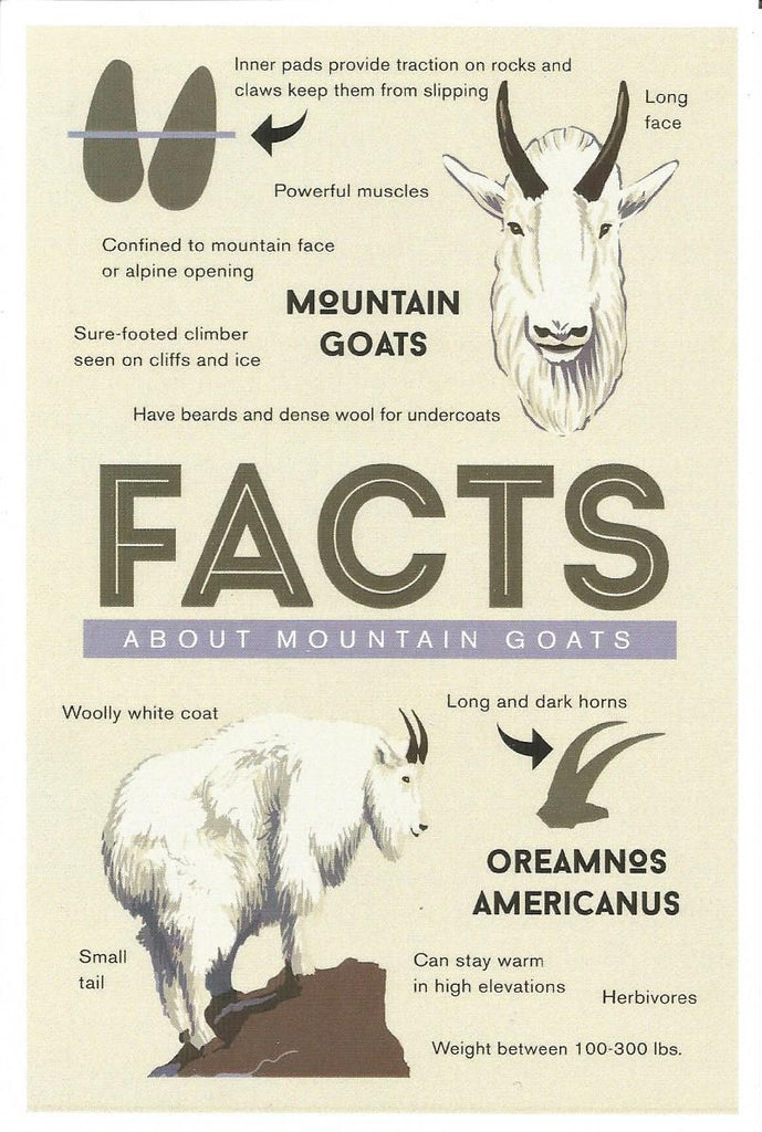 Facts About Mountain Goats Postcard