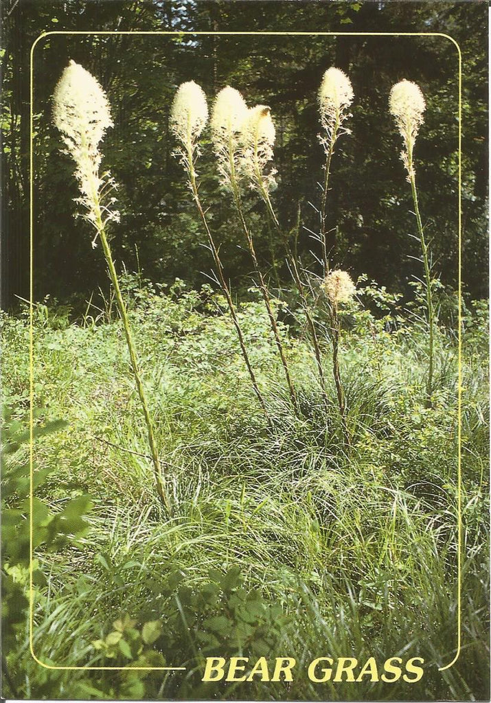 Bear Grass Postcard
