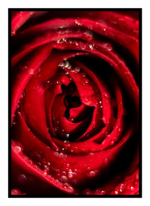 Rose Water Droplets Poster