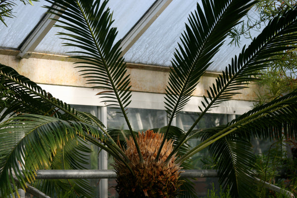 Cycads at the Smith College Botanical Garden