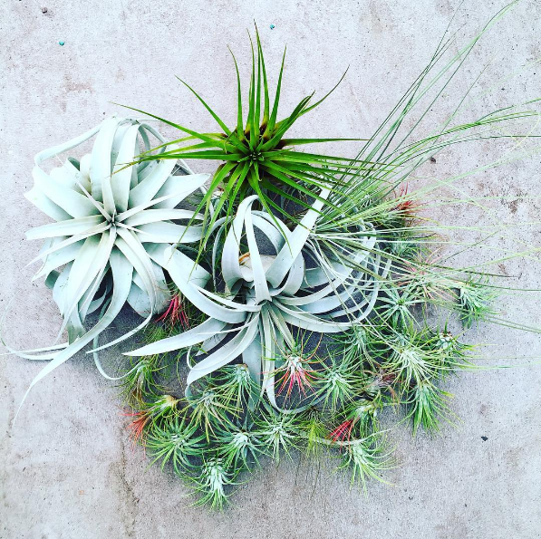 KESTREL Air Plant Guide -