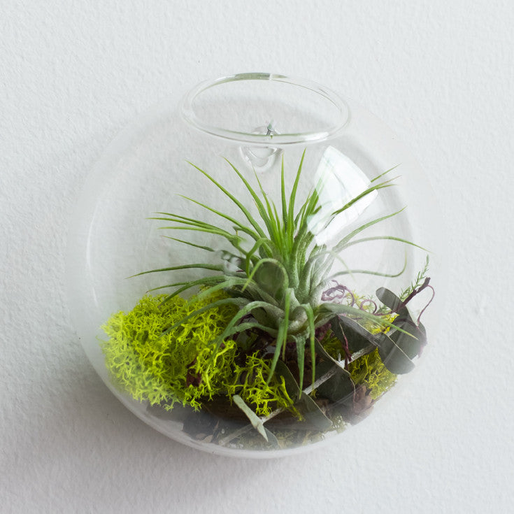 Bubble Terrarium Tillandsia (air plant)