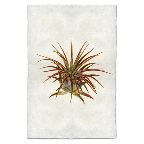 Air Plant #1 Print - KESTREL