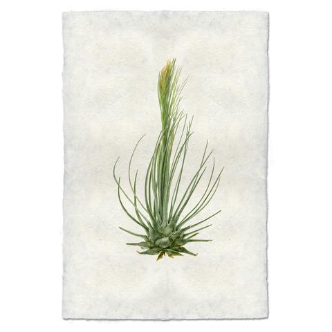 Air Plant #8 Print - KESTREL