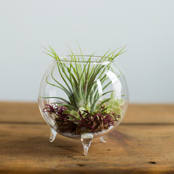 Air Plant Terrarium with Tillandsia