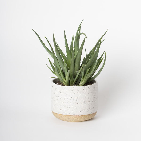 Medium White Speckled Planter with Aloe